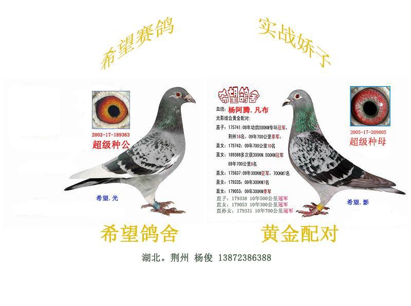 杨阿腾信鸽配詹森图片展示图片