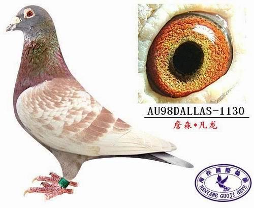 部分原环种赛鸽血统鸽转让 www.chinaxinge.com