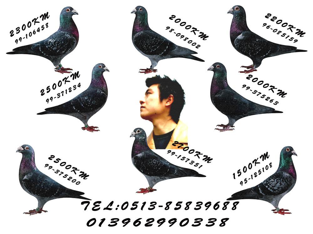 南通黑桃超远程鸽舍中国信鸽信息网图片