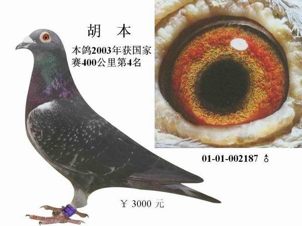 北京宏钢兄弟鸽舍种赛鸽子代500--3000元/羽