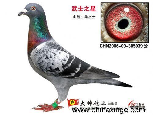 武士之星)  血统:100%桑杰士(特惠价两千元)8、CHN2008-11-