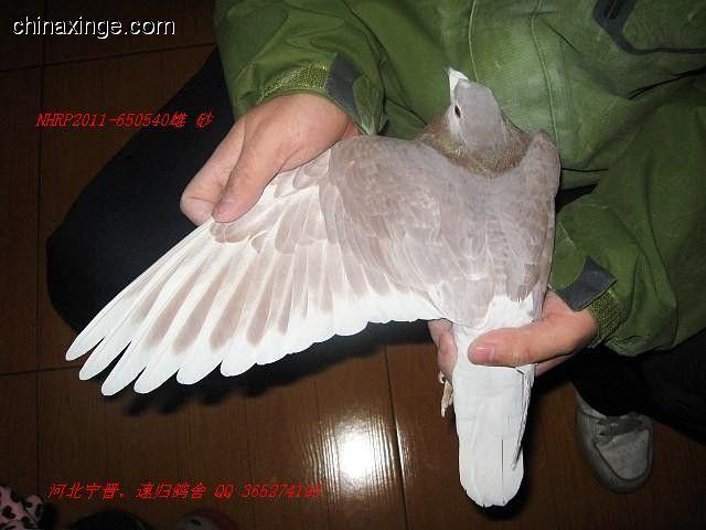 信鸽的骨骼结构